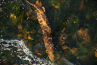 Adult female Otter returning downstream to holt after a nights fishing,<br /> Lutra lutra,<br /> River Tweed, Scotland - May