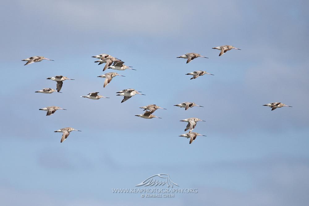 Bar-tailed Godwit, Miranda, New Zealand