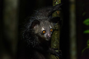 Aye-Aye (Daubentonia madagascariensis), is a rare primate found only on Madagascar.