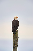 Bald Eagle (Haliaeetus leucocephalus), Nanaimo, British Columbia, Canada   Photo: Peter Llewellyn