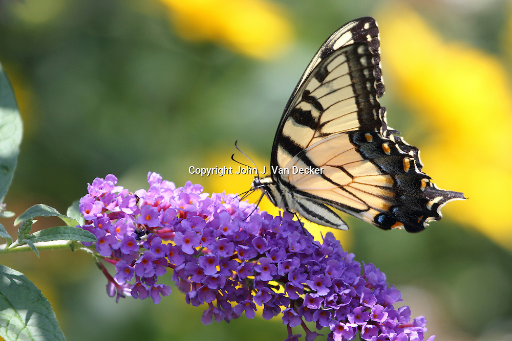 Eastern Tiger Swallowtail butterfly, Papilio glaucus