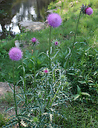 Blooming Thistle weeds, magenta and lavender colored next to a stream.
