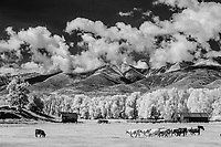 Cattle & old homestead in Wet Mountain Valley below the Sangre de Cristo Mountains, CO