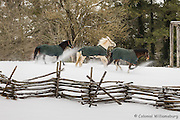 Horses playing in the snow at Colonial Williamsburg.