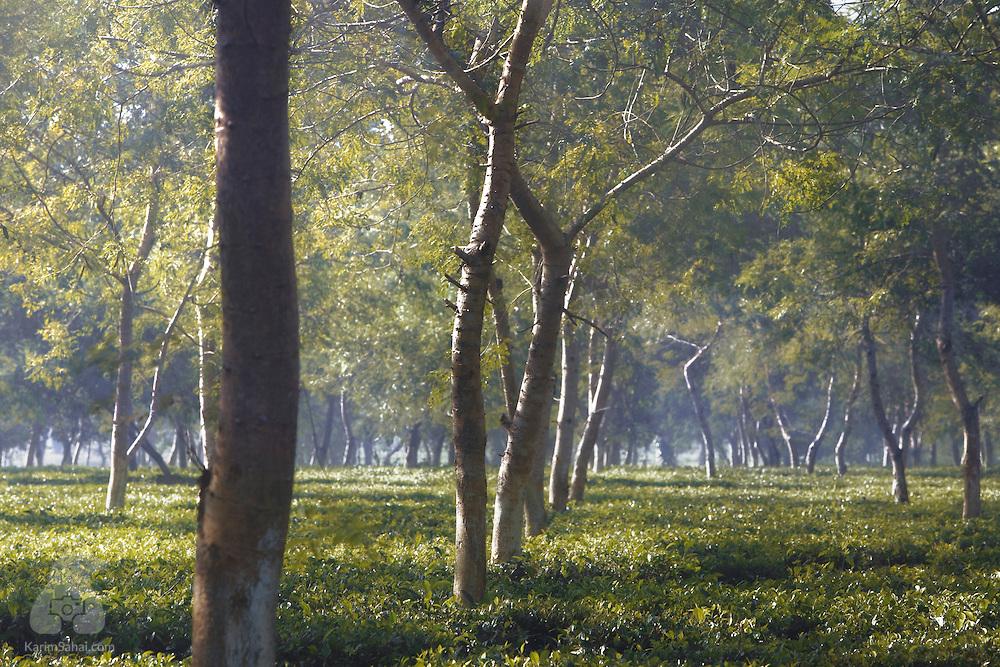 Early morning light at a tea plantation near Kaziranga, Assam, India.
