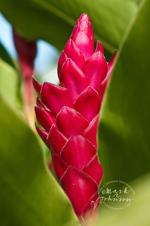 Torch ginger flower, Kauai, Hawaii