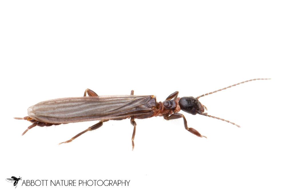 Saunders' Embiid (Oligotoma saundersii) - male<br /> TEXAS: Travis Co.<br /> Brackenridge Field Laboratory<br /> Austin<br /> 2-April-2012<br /> J.C. Abbott &amp; K.K. Abbott