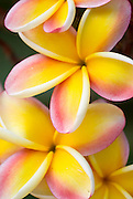 Pink and yellow plumeria from the Hawaiian Islands.