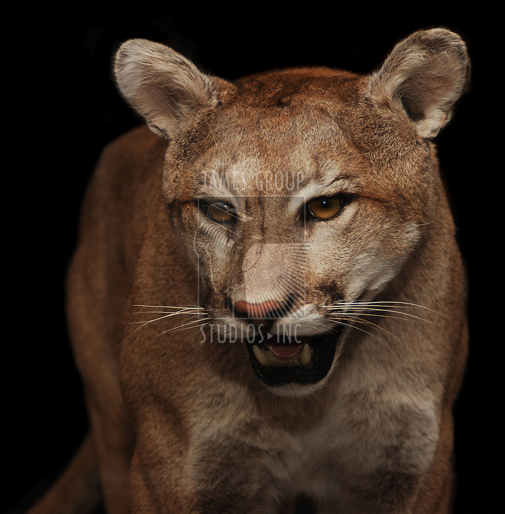 North American mountain lion shot with flash at night