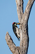 With an acord in its mouth, an acorn woodpecker looks for an ideal spot in the granary to store the nut