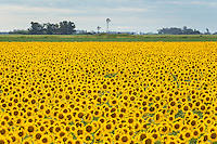 CULTIVO DE GIRASOLES, ALREDEDORES DE REALICO, PROVINCIA DE LA PAMPA, ARGENTINA (PHOTO BY © MARCO GUOLI - ALL RIGHTS RESERVED)