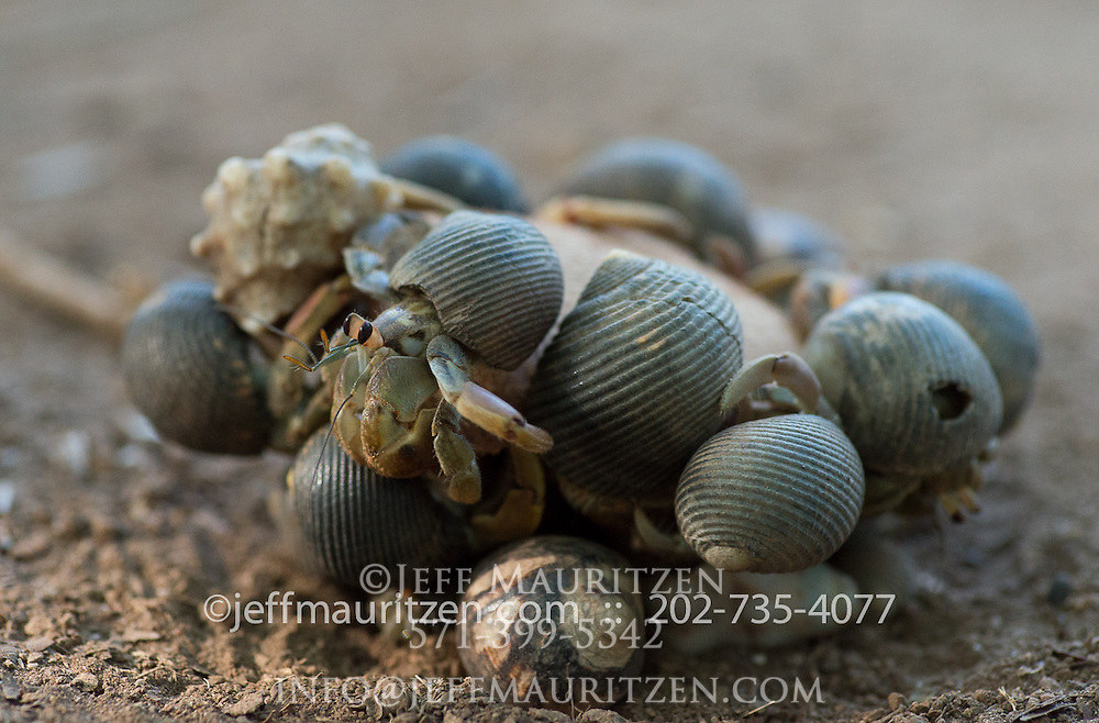 Hermit crabs eat a piece of coconut on Iguana Island in Panama.