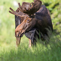 Moose, Northern Utah
