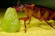 Deu, Deutschland: Amerikanischen Schabe (Periplaneta americana) frisst von einem Stück Kiwi | Deu, Germany: American cockroach (Periplaneta americana) feeding on a piece of a kiwi fruit |