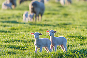 Merino Sheep twins stand alone from the rest of the flock, Agulhas Plain, Overberg, Western Cape, South Africa