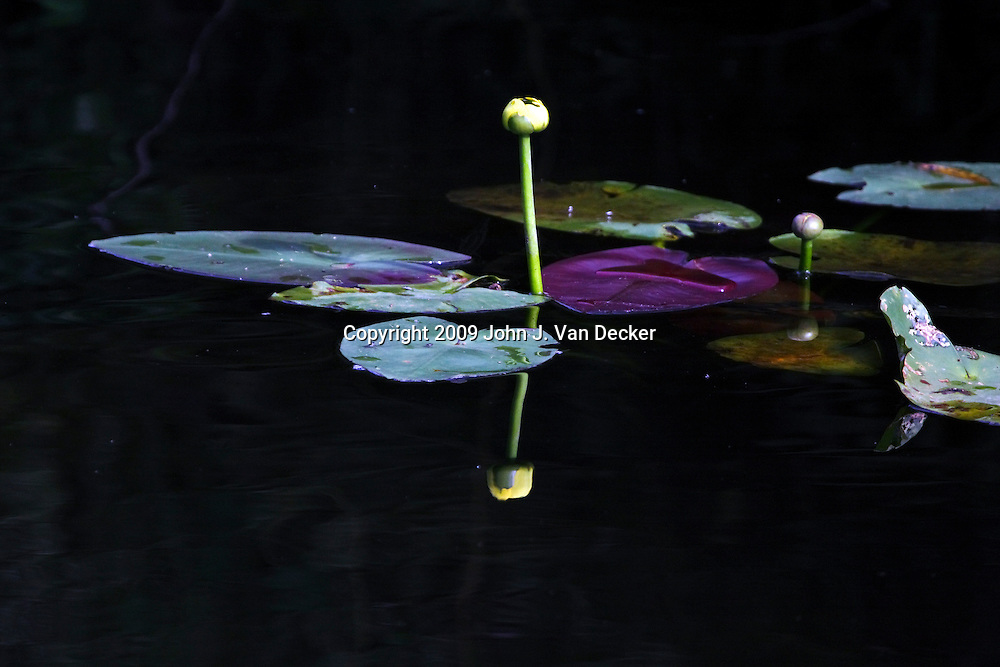 Spatterdock with reflection, Everglades Florida