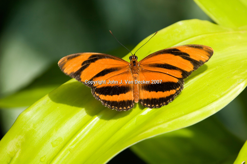 Orange Banded Tiger Longwing Butterfly resting on leaf