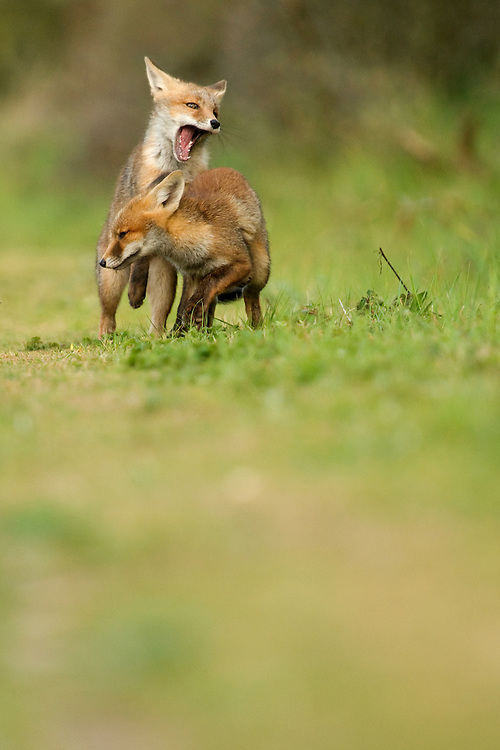 Red fox cubs playing. Amsterdamse waterleidingduinen, The Netherlands. May 2011.<br /> <br /> Spelende rode vos welpen. Amsterdamse waterleidingduinen, Nederland. Mei 2011.