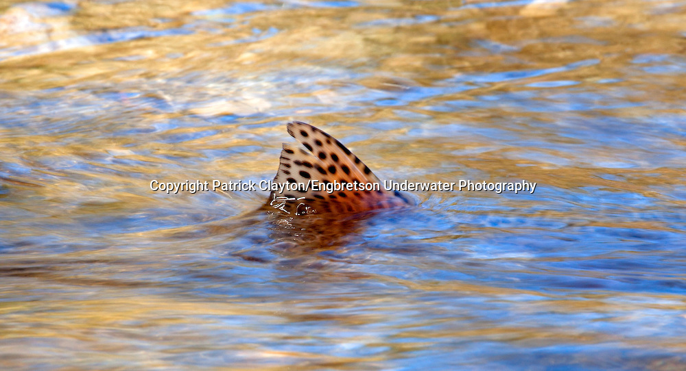 Rainbow Trout<br /> <br /> Patrick Clayton/Engbretson Underwater Photography