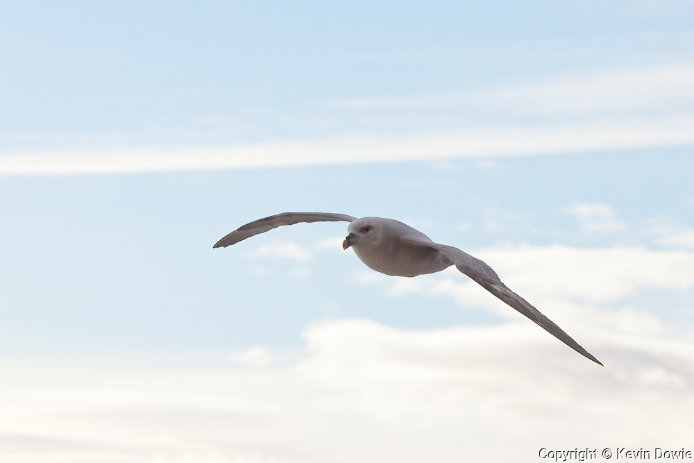 Northern Fulmar in flight, Svalbard