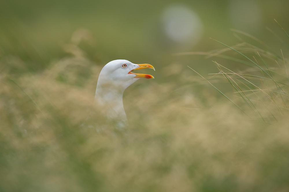 Kleine mantelmeeuw in de duinen op Helgoland