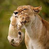 Lioness (Panthera leo) carrying cub in her mouth, Masai Mara, Kenya. This is a typical behavior among big cat moms, trying to protect their cubs from other predators.