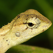 The Oriental Garden Lizard, Eastern Garden Lizard or Changeable Lizard (Calotes versicolor) is an agamid lizard found widely distributed in Asia. This juvenile specimen is in the Mae Nam Pha Chi Sanctuary in western Thailand.