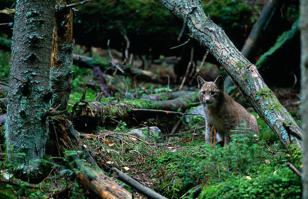 Young European lynx in spruce forest