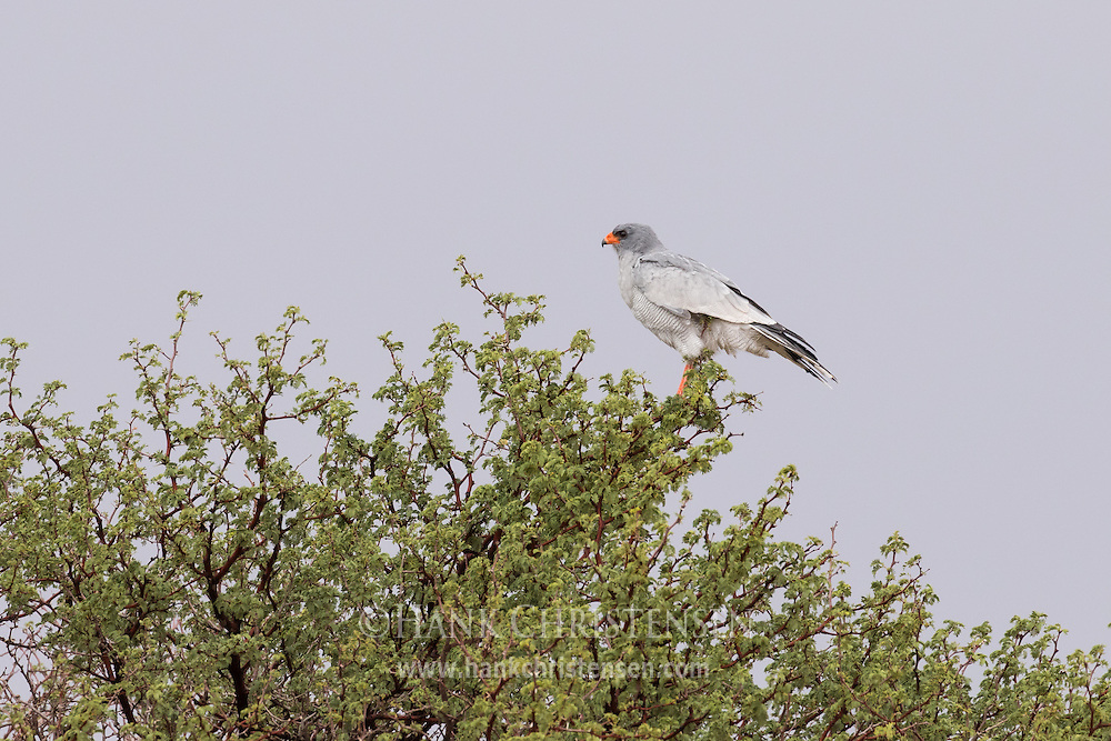 A pale chanting goshawk perches on a tree, Namibia, Africa.