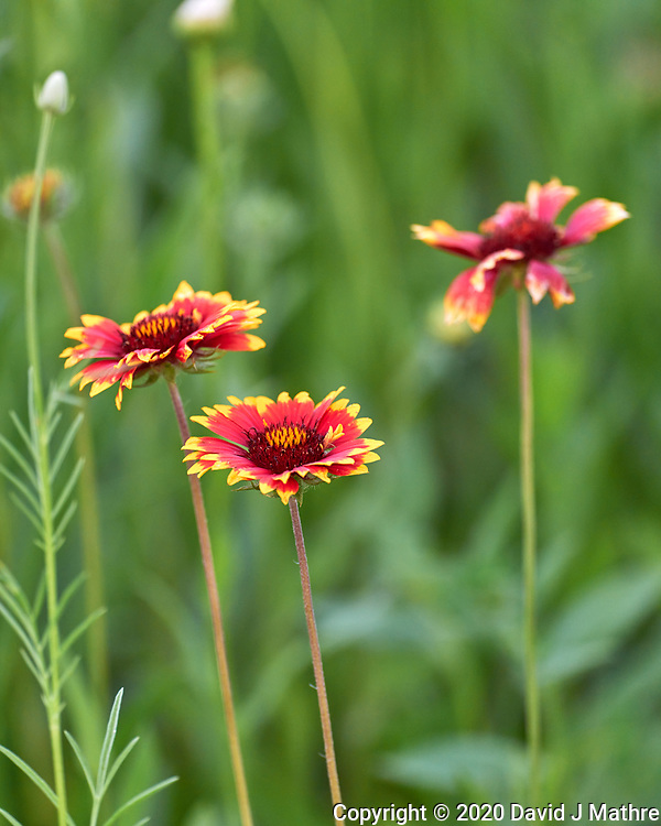 Indian Blanket. Image taken with a Leica SL2 camera and 90-280 mm lens