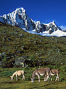 Mules graze below snowy Mount Taulliraju (19,100 feet) in Tingopampa Valley, near Punta Union Pass, on the Santa Cruz Trek in Huascaran National Park, Peru, South America. UNESCO honored Huascaran National Park on the World Heritage List in 1985. Cordillera Blanca mountain range is in the Sierra Central of the Peruvian Andes.
