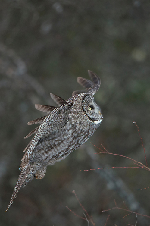 A great gray owl (Strix nebulosa) flies up to a perch, Missoula, Montana