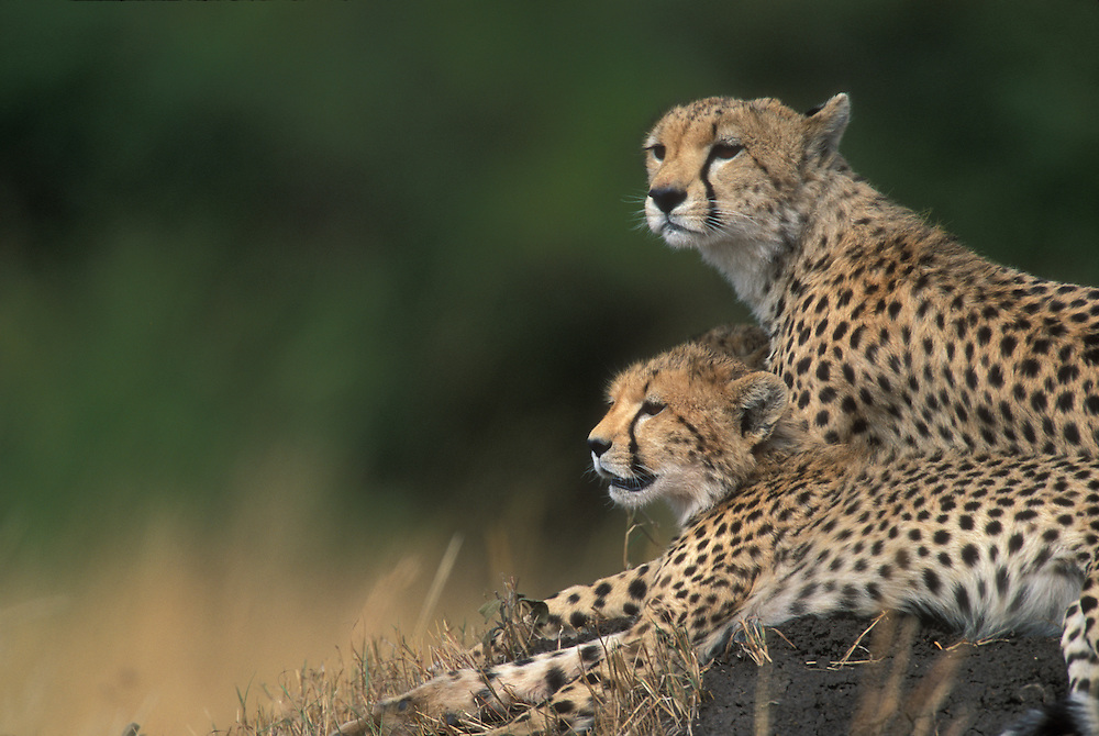 Africa, Kenya, Masai Mara Game Reserve, Adult Female Cheetah with cubs (Acinonyx jubatas) resting on termite mound