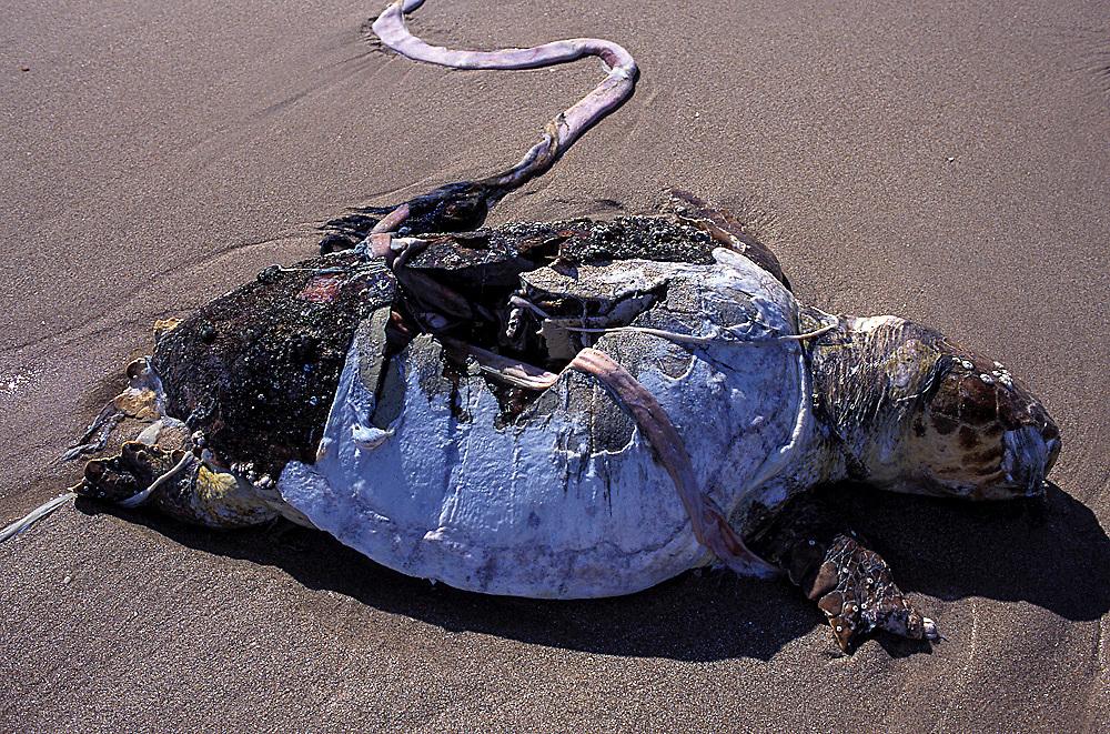 Loggerhead Sea Turtle, Caretta caretta, killed by boat strike in Singer Island, Florida, United States.