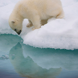 A polar bear cub inspects its own reflection at the edge of an ice floe. Barents Sea, Norway.
