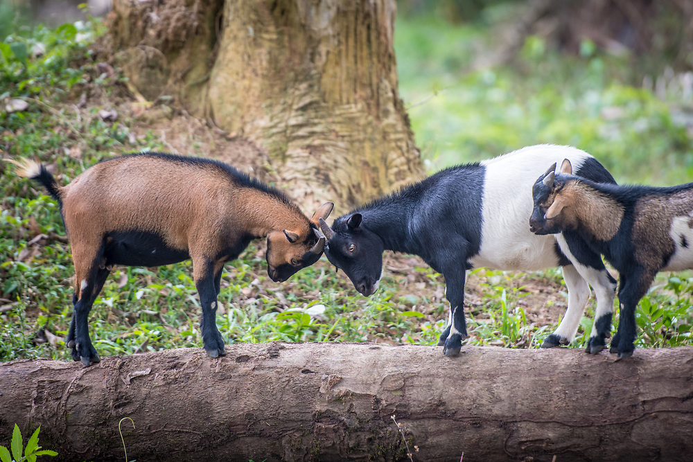 Goats (Capra aegagrus hircus) play on tree stumps in Ganta, Liberia