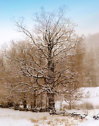 Giant bare tree in snow
