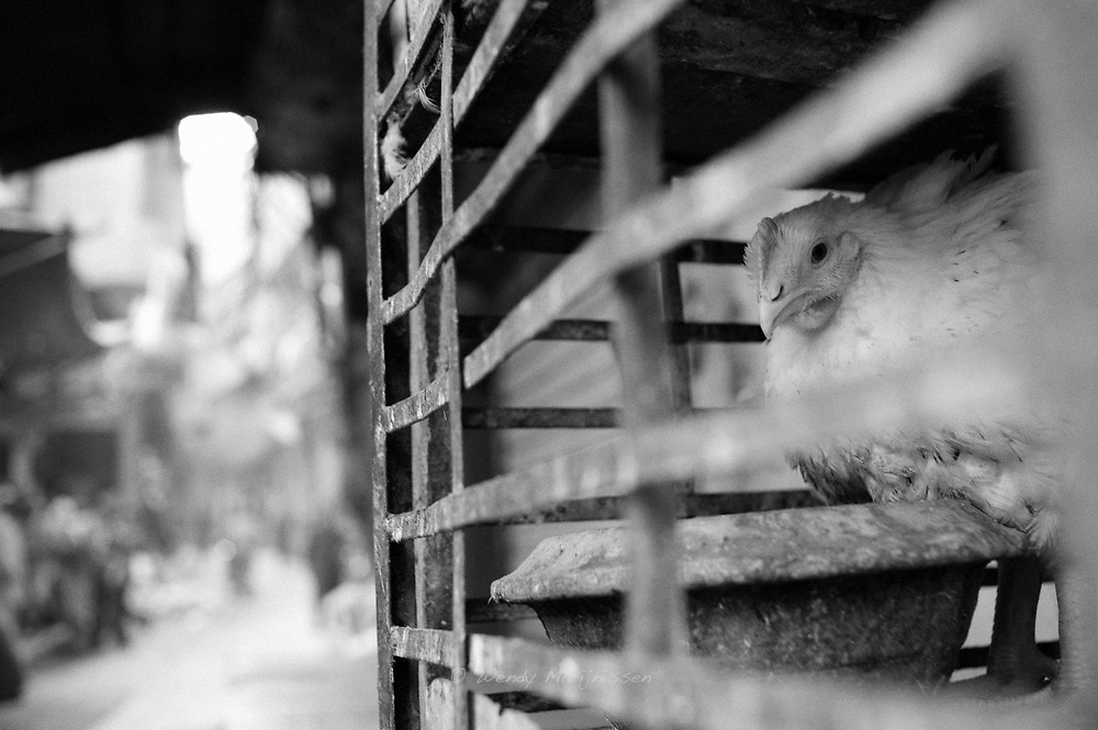 A chicken waiting to be sold and slaughtered in a street shop in the old city of Lahore. Pakistan, 2009