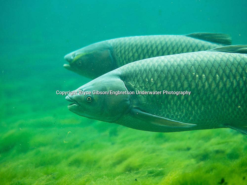 Grass Carp<br /> <br /> Bryce Gibson/Engbretson Underwater Photography