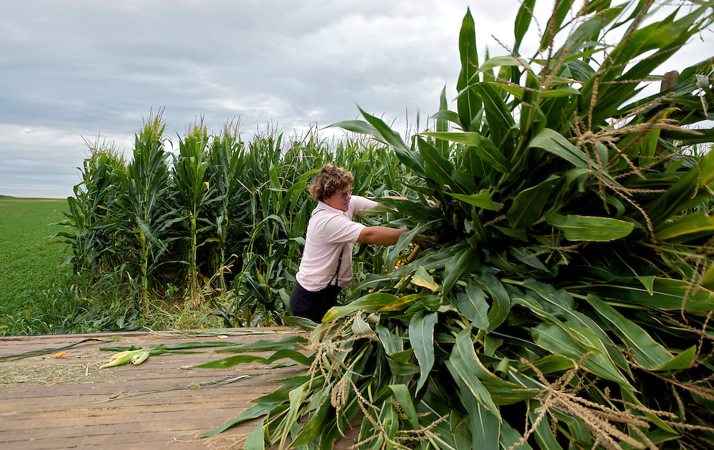 UNITED STATES-LANCASTER COUNTY-A farmer reaping corn the oldfashioned way. PHOTO GERRIT DE HEUS. VERENIGDE STATEN-LANCASTER COUNTY-Een boer uit de Amish-gemeenschap oogst mais op traditionele wijze. PHOTO COPYRIGHT GERRIT DE HEUS