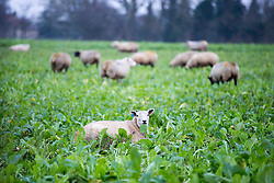 © Licensed to London News Pictures. 28/12/2015. Tadcaster UK. Sheep displaced due to flooding in Tadcaster sit in a field of crops as the residents begin a huge clean up operation this morning after the River Wharf broke it's banks and flooded property on Bridge Street. Photo credit: Andrew McCaren/LNP