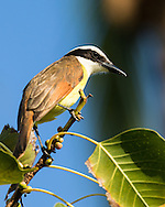 A great kiskadee perches on a narrow branch high above the ground, Puerto Vallarta, Mexico