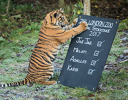 © Licensed to London News Pictures. 03/01/2017. London, UK. Achilles, a Sumatran Tiger cub, attacks the stocktake board at the London Zoo annual stocktake. Photo credit: Rob Pinney/LNP