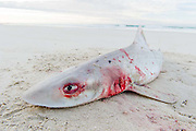 Smooth Hound Shark caught by line fisher and abandoned on the beach, De Mond Nature Reserve, Western Cape, South Africa