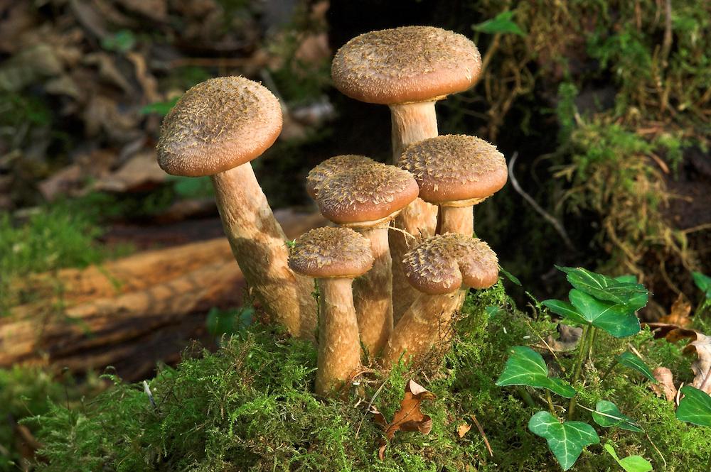 Bulbous Honey Fungus - Armillaria gallica