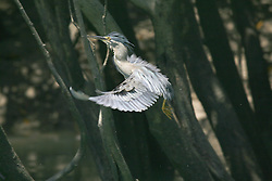 A striated mangrove heron in flight in the mangroves, Collier Bay