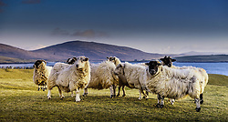 Sheep at Borve, Island of Berneray, Outer Hebrides, Scotland<br /> <br /> (c) Andrew Wilson | Edinburgh Elite media