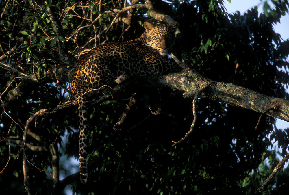 Africa, Kenya, Masai Mara Game Reserve, Leopard (Panthera pardus) resting on tree branch along Telek River at dawn
