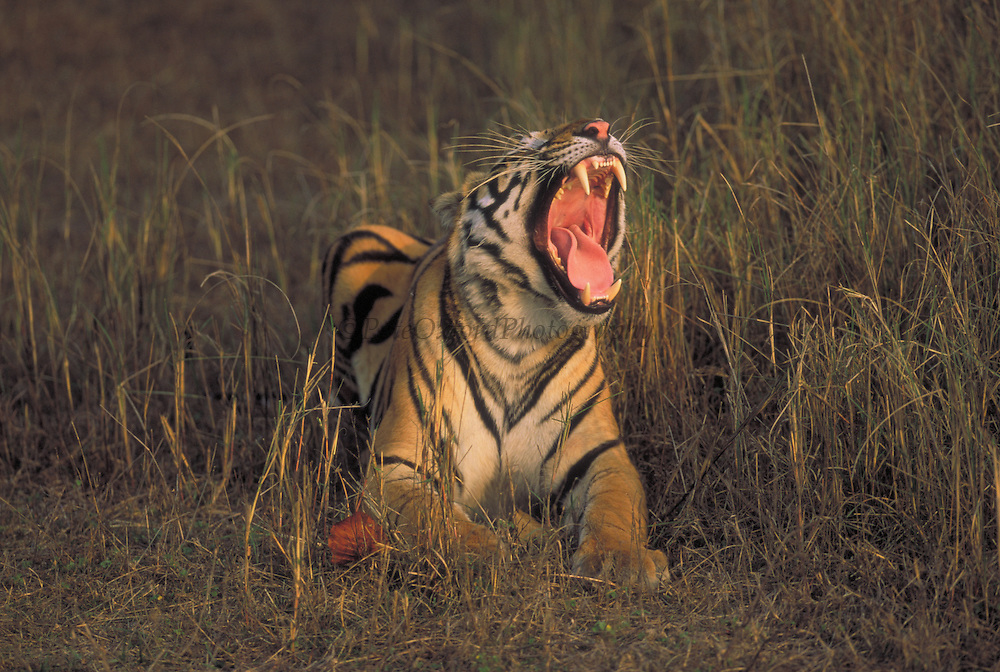 Tiger Yawning<br />Panthera tigris<br />Kanha National Park, INDIA<br />RANGE; Indian Sub-continent