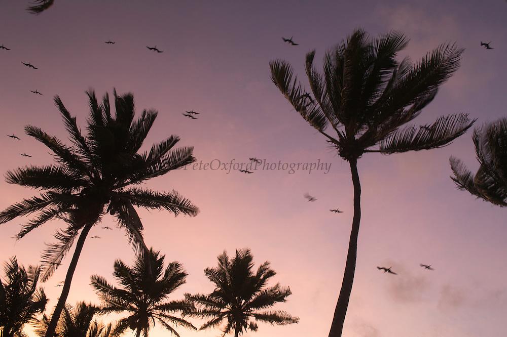 Coconut Palm (Cocos nucifera) & Magnificent Frigatebird (Fregata magnificens)<br /> Halfmoon Caye<br /> Lighthouse Reef Atoll<br /> BELIZE, Central America